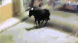 Video: Khoảnh khắc bò đực hất tung người đàn ông lên trời