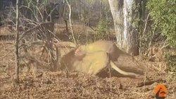 Video: Lợn rừng chui xuống lòng đất cố thủ, 2 chúa sơn lâm chui xuống lôi lên ăn thịt