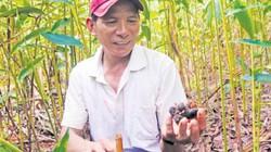 Mùa hái loài quả quý ra từng chùm ở gốc dưới tán rừng Gia Lai