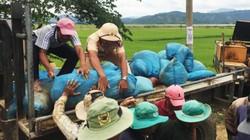 Hàng trăm người dầm mình dưới sông vá đê bao sông Krông Ana, cứu lúa