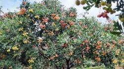 Cắt 3 cây chôm chôm mà thu 2 tấn quả, lão nông vùng đất đỏ lãi to