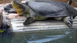 """Loài """"thủy quái"""" sông Mê Kông nguy cơ tuyệt chủng do đập thủy điện"""