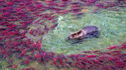 """Cận cảnh """"thiên đường cá hồi"""" chứa hàng chục triệu con mỗi năm"""