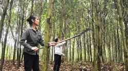 Dân vùng biên giới xứ Nghệ đổi đời nhờ trồng rừng nguyên liệu giấy