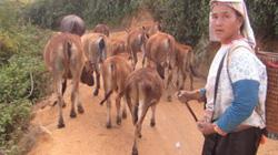 Kì diệu ở Si Pa Phìn: Nương lúa, ngô đẩy lùi vườn anh túc