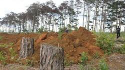 Vụ đầu độc hơn 600 cây thông: Khởi tố, bắt tạm giam 6 đối tượng