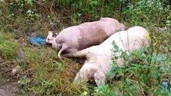 """Xót xa """"thủ phủ"""" lợn Đồng Nai: Lợn chết vì dịch tả tăng từng ngày"""