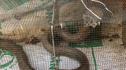 Rợn người: Bắt cả chục con rắn hổ mang khủng ở chung cư giữa Thủ đô