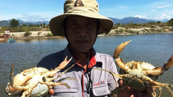 Khánh Hòa: Nuôi loài bò dưới đầm mập mạp, bán hơn 90 ngàn/con