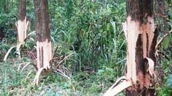Bí thư xã bị tố phá rừng của dân: Chỉ đạo cạo vỏ để cây chết