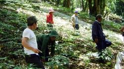 Quảng Nam: Sau 5 năm trồng, 1ha sâm Ngọc Linh thu tới 50 tỷ đồng