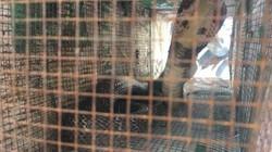 Cận cảnh bẫy rắn hổ mang chúa dài hàng mét, từng tấn công người tại khu đô thị