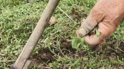 Bàn long sâm – loài rau lạ phải bán kèm rễ nếu không muốn lỗ vốn