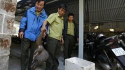 Khủng: Một cán bộ bắt được con tê tê 6kg, giao nộp kiểm lâm