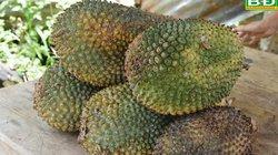 Kỳ lạ: Quả dứa rừng to như trái mít, không bổ béo mà chữa được bệnh