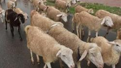 Người đàn ông Ấn Độ được bồi thường 71 con cừu vì vợ ngoại tình