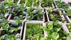 Vườn sân thượng xanh tươi đã mắt, 4 mùa ăn rau sạch của gia đình ở Hải Dương