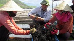 Nuôi hàu Thái Bình Dương không phải cho ăn, năm nào cũng có lãi