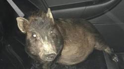 Nghẹt thở xem cảnh sát mất 8 giờ truy đuổi... 4 con lợn