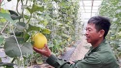 Hà Tĩnh: Trồng dưa vàng Hồng Phi, quả chín đã có người mua ngay