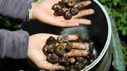 Mùa mưa đi săn loài ốc núi thịt giòn ngọt, kiếm tiền triệu 1 đêm