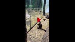 Video: Con khỉ tinh ranh vác đá đập vỡ lồng kính hòng tẩu thoát