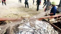 Thả lưới trúng hàng tấn cá bạc má, về bờ đã có người mua giá cao
