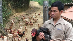 """8X xứ Mường nuôi gà Mía thả """"tím cả đồi"""", bán chạy như tôm tươi"""