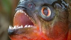 """Bán mì nấu cùng cá Piranha """"ăn thịt người"""", mỗi suất thu về hơn nửa triệu"""