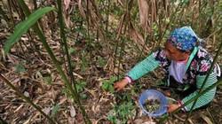 Thung lũng sa nhân-nơi dân vào rừng hái thứ quả quý mọc dưới gốc, để khô bán 500 ngàn/kg