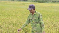 7- 8 tháng không một giọt mưa, nông dân Huế trắng tay vụ lúa hè thu