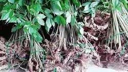 Đổ xô tìm loại cây giống với sâm Ngọc Linh, cây lớn bán 70 triệu/kg