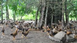 Thả gà ta chạy trong rẫy rừng, con nào cũng ngon, bán đắt hàng