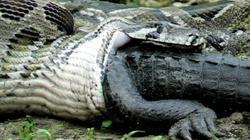 """Vén màn bí ẩn về loài """"quái vật"""" khổng lồ đáng sợ nhất rừng Amazon"""
