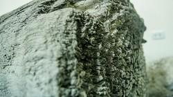 """Giải mã bí ẩn """"quan tài"""" cây hơn 2.000 năm tuổi ở Hưng Yên"""