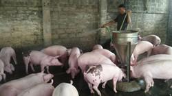 Kì lạ: Ở nơi dịch tả lợn châu Phi... chừa ra!