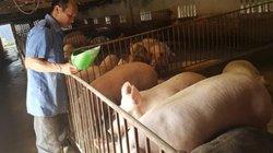 """Độc đáo: Mắc màn, tạo """"vòng lửa"""" cứu đàn lợn thoát dịch tả châu Phi"""