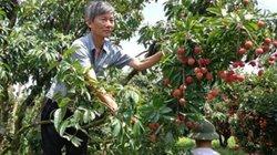 1001 cách làm ăn: Chăm sóc vải thiều sau thu hoạch với NPK Lâm Thao