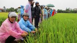 Giống lúa mới VNR20 được mùa, nông dân xứ Quảng phấn khởi
