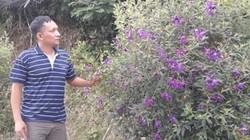 Lạ mà hay: Trồng loài hoa mua tím, hóa ra bán được nhiều tiền