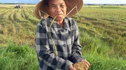 Trồng lúa hữu cơ, nông dân xứ Huế vừa khỏe người vừa ấm túi