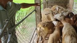 Nghệ An: Đánh liều mang cừu Ninh Thuận ra nuôi ở đất Thái Hòa