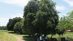 Ngắm rặng cây 1.000 năm tuổi tuyệt đẹp giữa làng quê Hà Nội