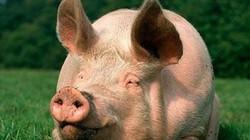 """10 cuộc chiến tranh kỳ quái (Kỳ 2): Mỹ - Anh """"động thủ"""" vì 1 con lợn"""