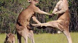 Xem kangaroo đấu boxing để giành bạn tình và vị trí thủ lĩnh