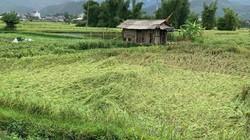 Xót lòng nhìn cánh đồng Mường Lò sắp gặt tan tác sau mưa lớn
