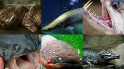 """Top 6 """"thủy quái"""" săn mồi hung tợn và ghê rợn nhất trên sông Amazon"""