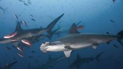 """Đàn cá mập sát thủ """"bảo vệ"""" hòn đảo chứa kho báu 1 tỷ USD huyền thoại"""