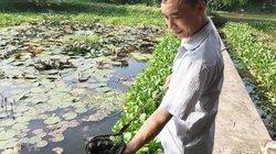 Phú Thọ: Có của ăn của để nhờ nuôi loài ốc nhồi đẻ khỏe ở ao bèo
