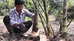 Không lạ mà vẫn hay: 'Hốt bạc' hàng trăm triệu từ trồng tre lấy măng